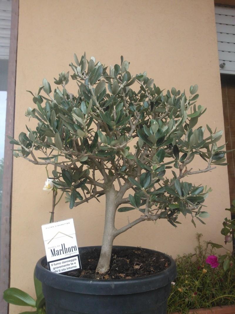 Piccolo ricordo delle vacanze (olivo) Olivo10