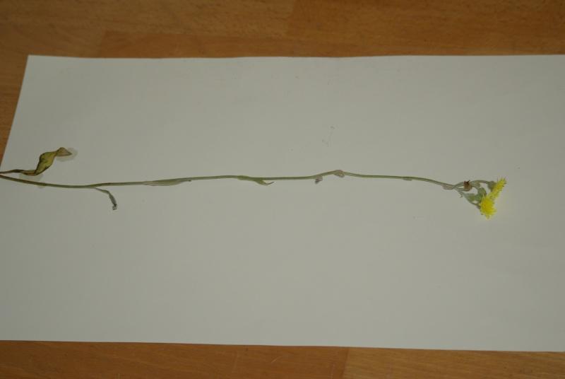 Asteracée ? [Andryala integrifolia] Imgp4911