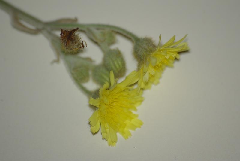 Asteracée ? [Andryala integrifolia] Imgp4912