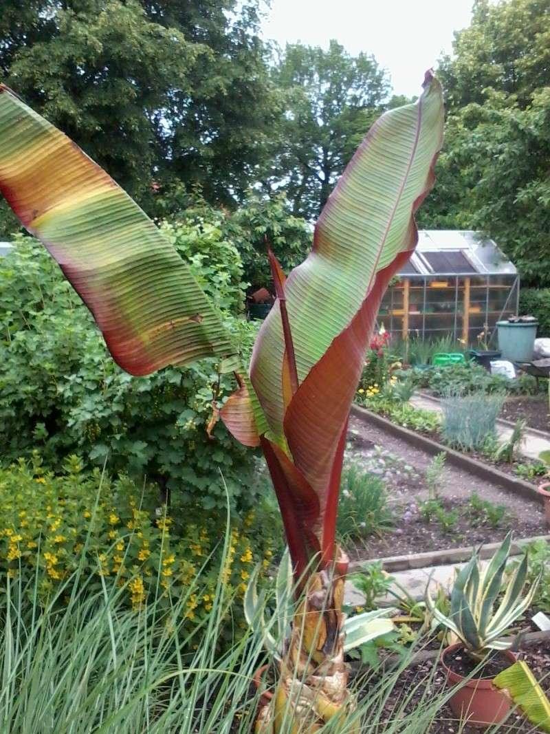 Bananengewächse (Musaceae) - Seite 4 Foto0710