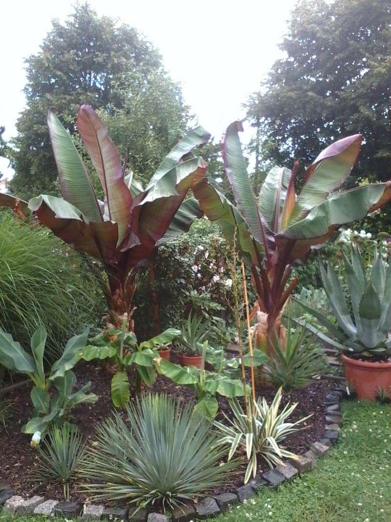 Bananengewächse (Musaceae) - Seite 4 Foto0735