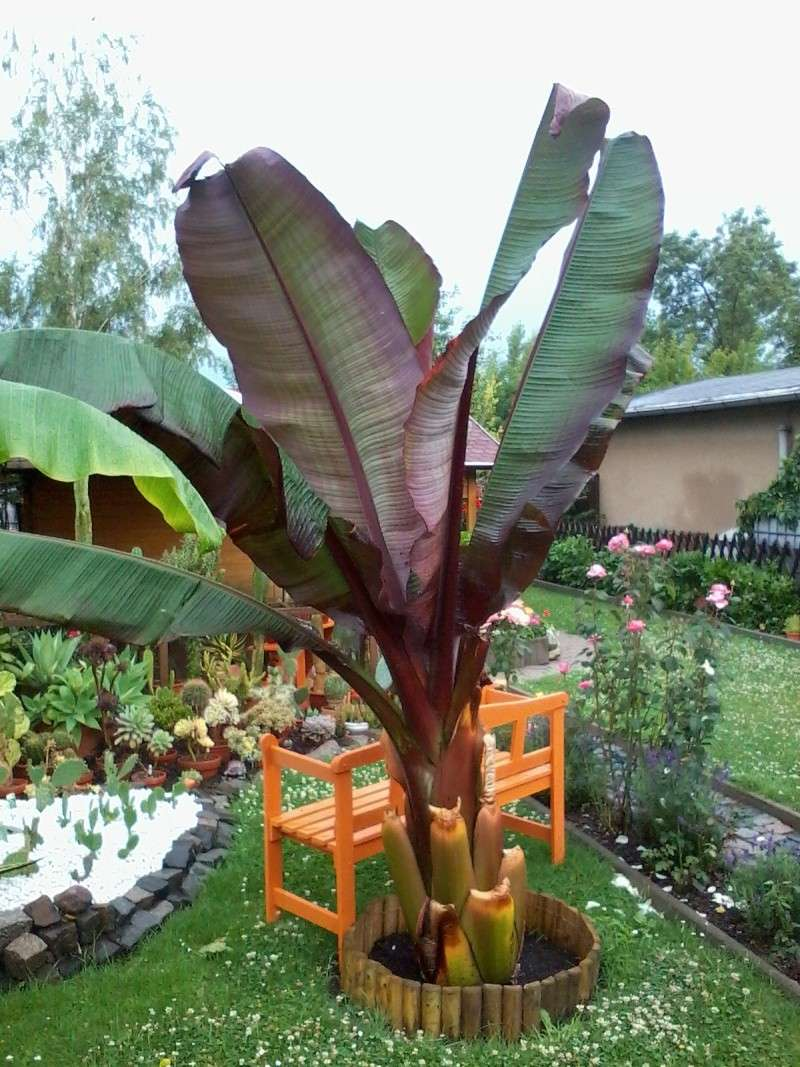 Bananengewächse (Musaceae) - Seite 4 Foto0736