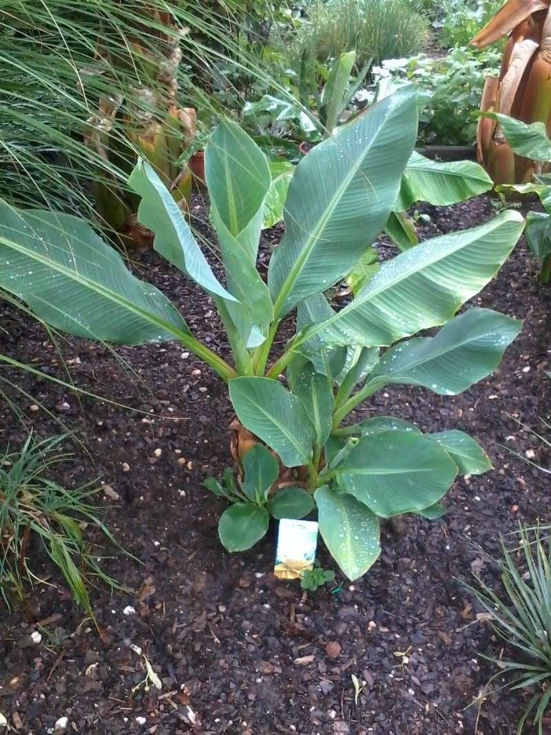 Bananengewächse (Musaceae) - Seite 4 Foto0737