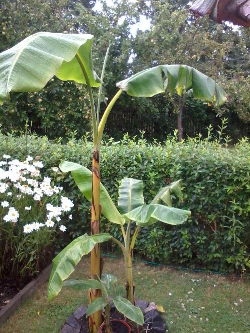 Bananengewächse (Musaceae) - Seite 4 Foto0738