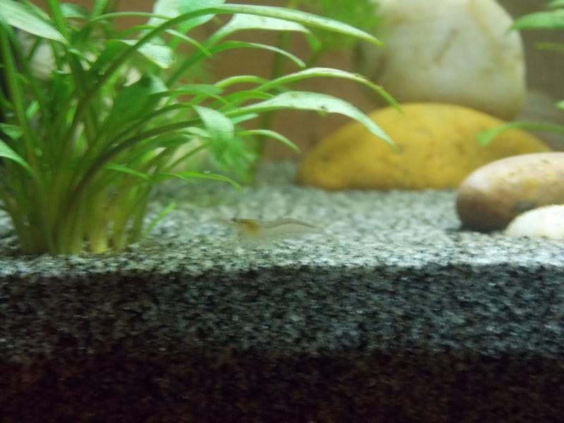 Crevettes et pic de nitrites + quelle espèce? Dscn0338