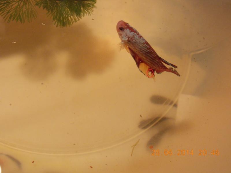 Trou dans la nageoire anale + disparition nageoire pectorale Hinoir10