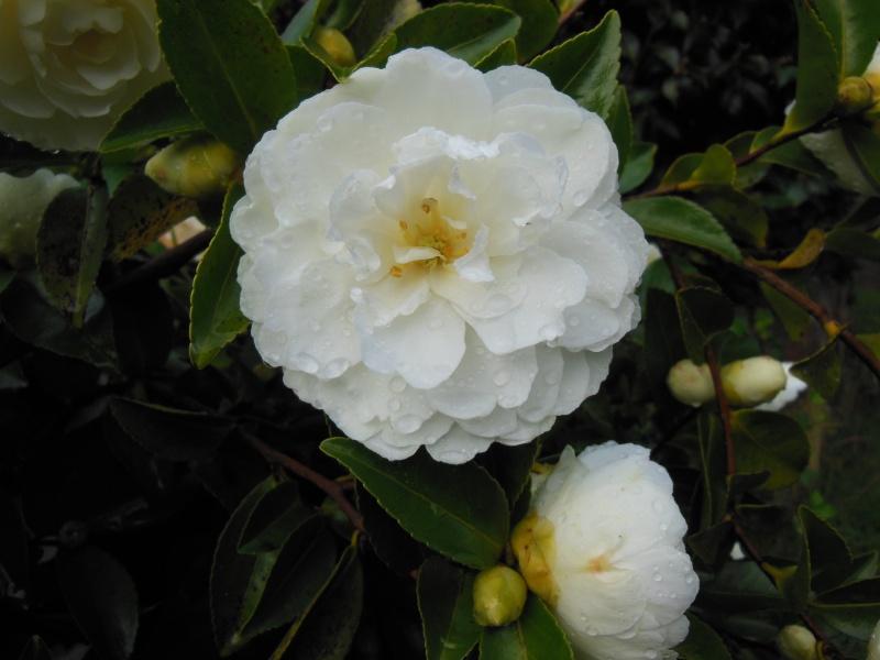 Les camellias saison 2014 2015 Dscn1111