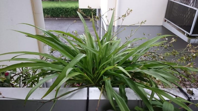 Chlorophytum à gogo Chloro11