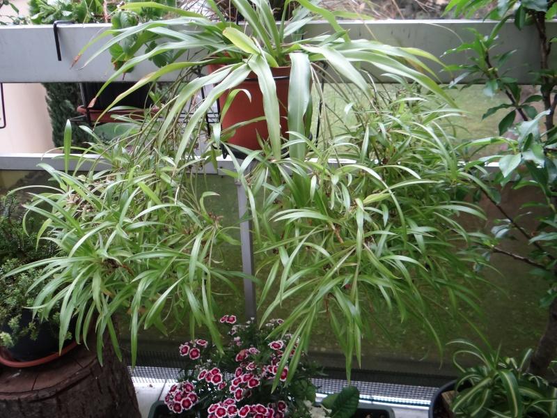 Chlorophytum à gogo Dsc07610