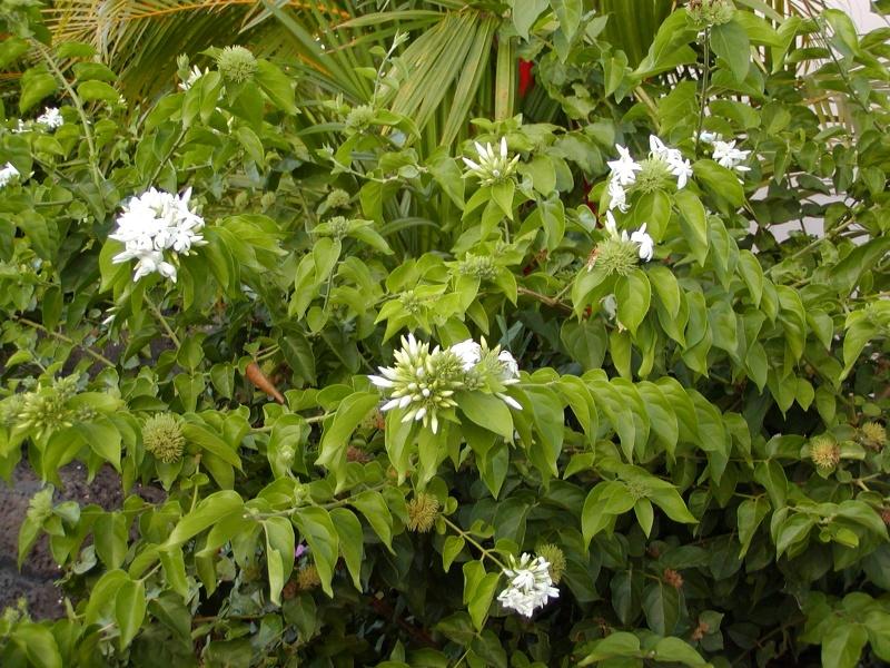 Millingtonia hortensis ---Tree Jasmine, Cork Tree 111