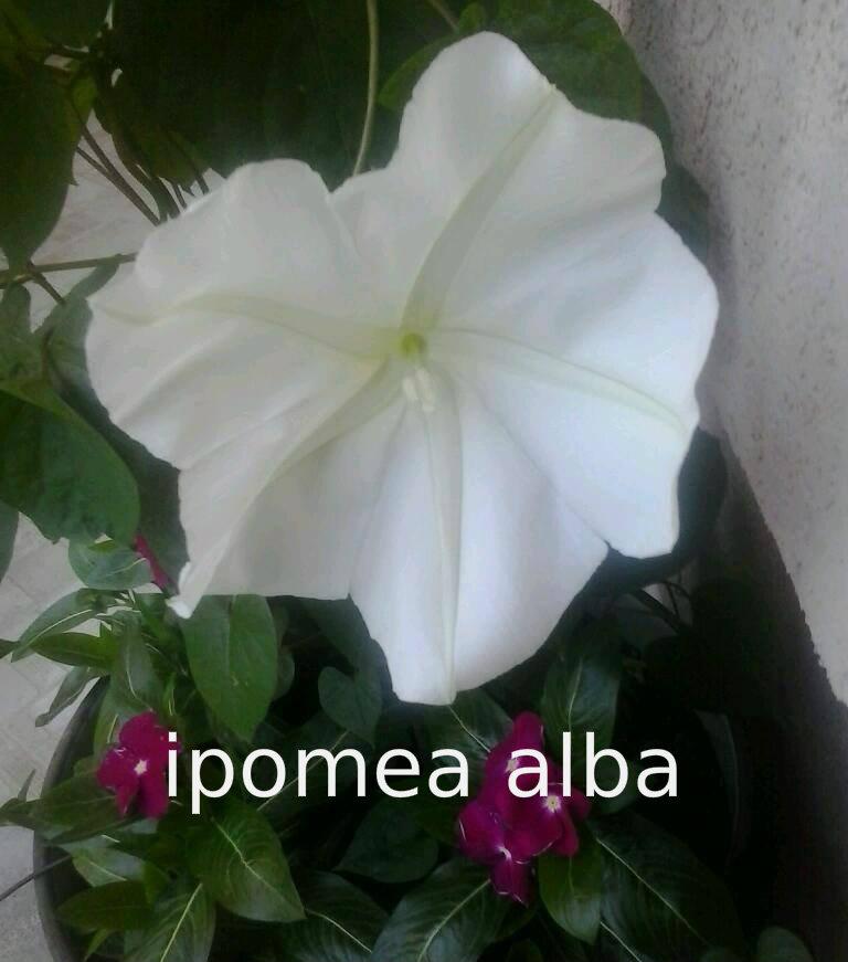 Ladolez- Ipomea 1110