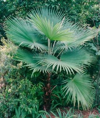 Trachycarpus fortunei--visoka žumara 1113