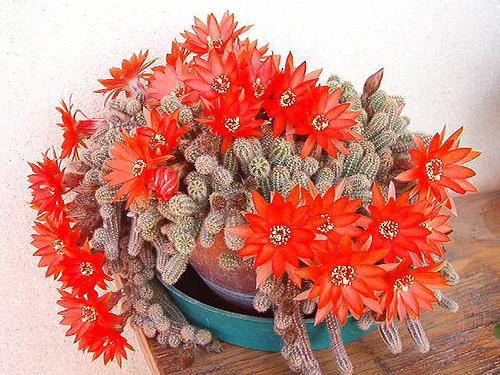 Kikiriki kaktus--Chamaecereus silvestri 119