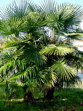 Trachycarpus fortunei--visoka žumara 1213