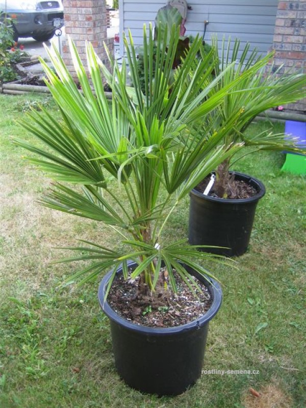 Trachycarpus fortunei--visoka žumara 1312