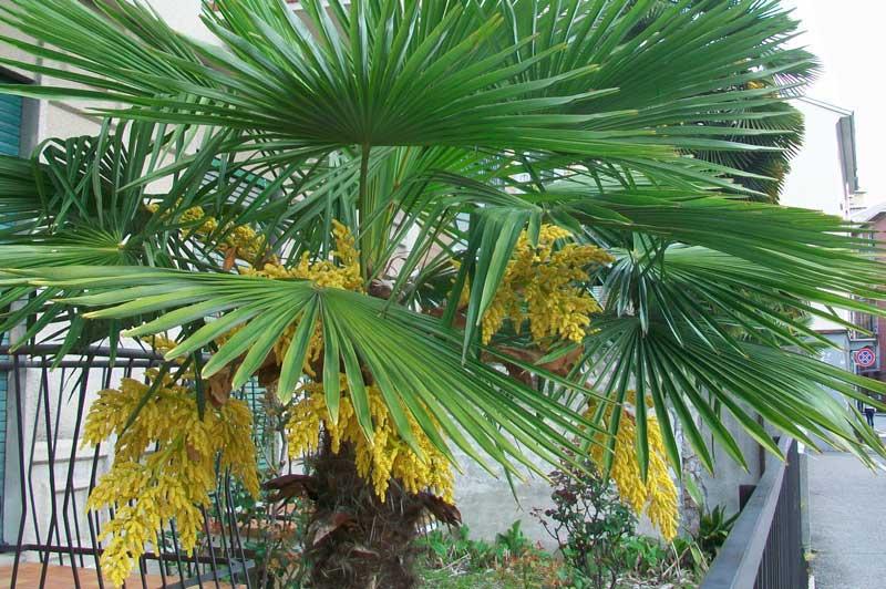 Trachycarpus fortunei--visoka žumara 1410