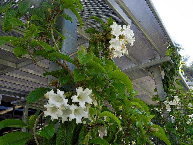 Beaumontia grandiflora 210
