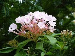 Luculia gratissima rosea 216