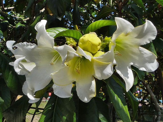 Beaumontia grandiflora 310