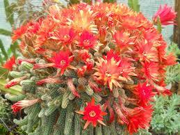 Kikiriki kaktus--Chamaecereus silvestri 316