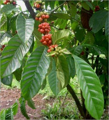 Kafa--Coffea 412