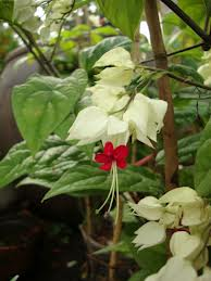 Clerodendrum thomsoniae A111