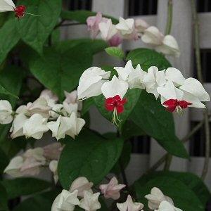 Clerodendrum thomsoniae A211
