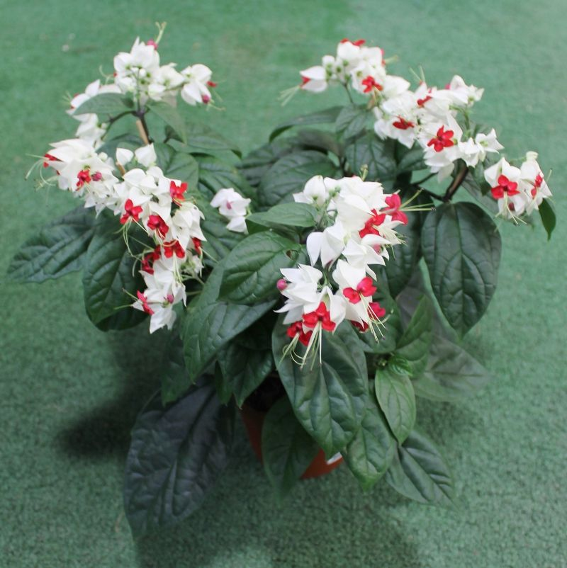 Clerodendrum thomsoniae A311