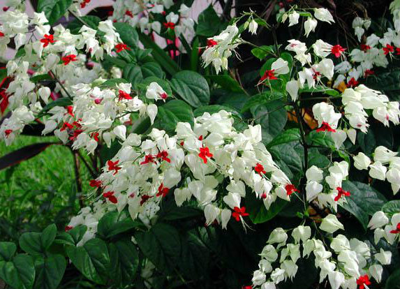 Clerodendrum thomsoniae A410