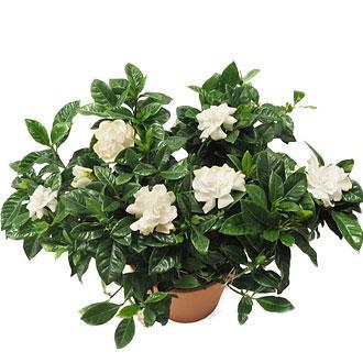 Gardenija..Gardenia  jasminoides G410