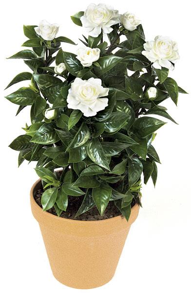 Gardenija..Gardenia  jasminoides G510