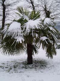 Trachycarpus fortunei--visoka žumara Palma10