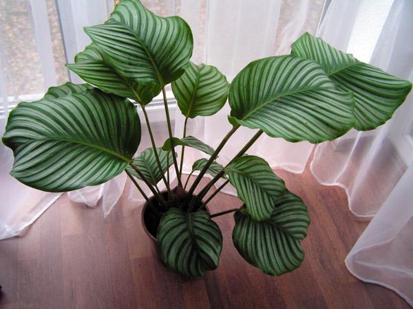 Calathea orbifolia... X110