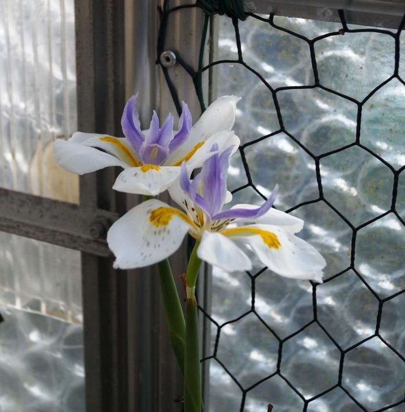 Schwertliliengewächse: Iris, Tigrida, Ixia, Sparaxis, Crocus, Freesia, Montbretie u.v.m. - Seite 4 00332