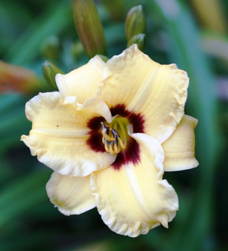 Hemerocallis - Taglilien - Schönheiten im Juni und Juli - Seite 4 00416