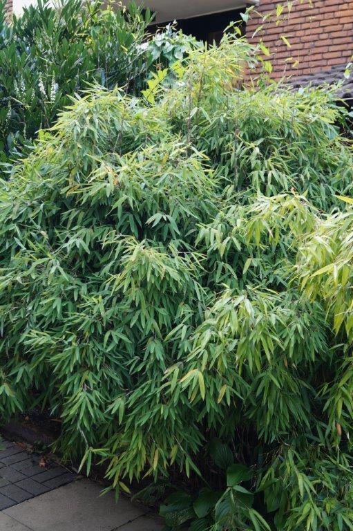 Bambus - Kultur, Aussaat, Pflege, Diskussion und Bilder von Bambusa und Fargesia - Seite 2 03516