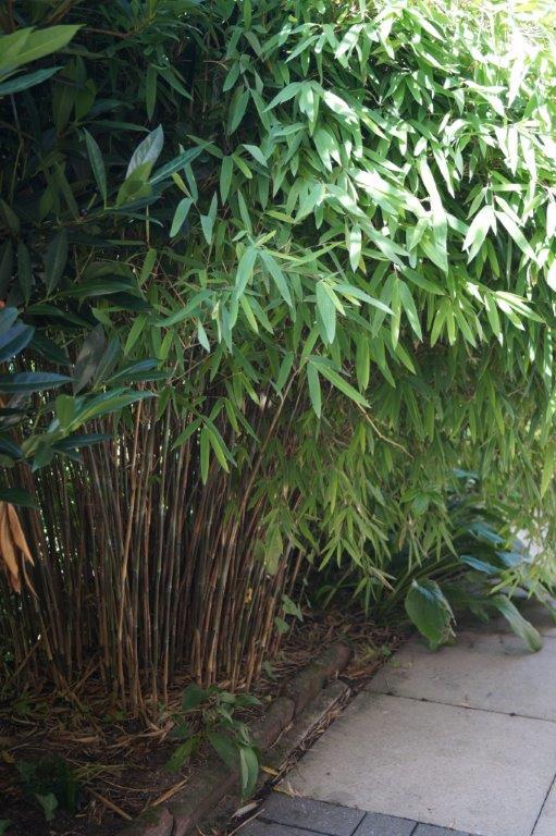 Bambus - Kultur, Aussaat, Pflege, Diskussion und Bilder von Bambusa und Fargesia - Seite 2 03625