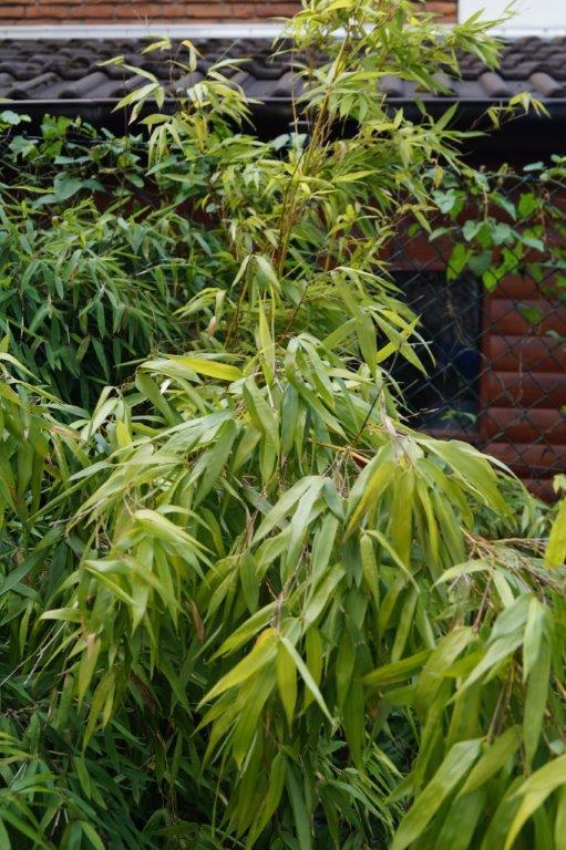 Bambus - Kultur, Aussaat, Pflege, Diskussion und Bilder von Bambusa und Fargesia - Seite 2 03816