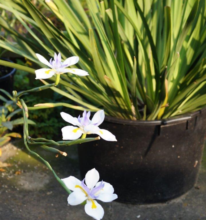 Schwertliliengewächse: Iris, Tigrida, Ixia, Sparaxis, Crocus, Freesia, Montbretie u.v.m. - Seite 3 03817