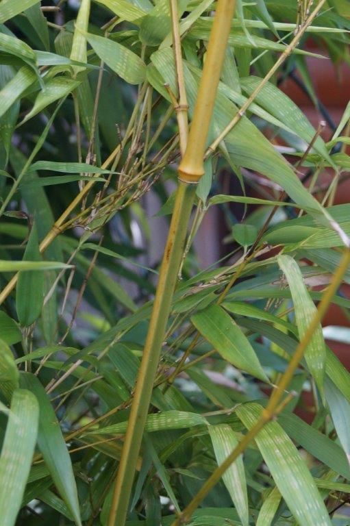 Bambus - Kultur, Aussaat, Pflege, Diskussion und Bilder von Bambusa und Fargesia - Seite 2 03915