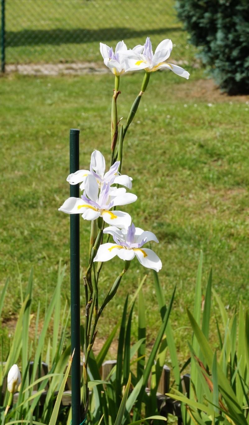 Schwertliliengewächse: Iris, Tigrida, Ixia, Sparaxis, Crocus, Freesia, Montbretie u.v.m. - Seite 3 04012