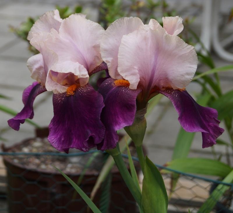 Schwertliliengewächse: Iris, Tigrida, Ixia, Sparaxis, Crocus, Freesia, Montbretie u.v.m. - Seite 3 05111