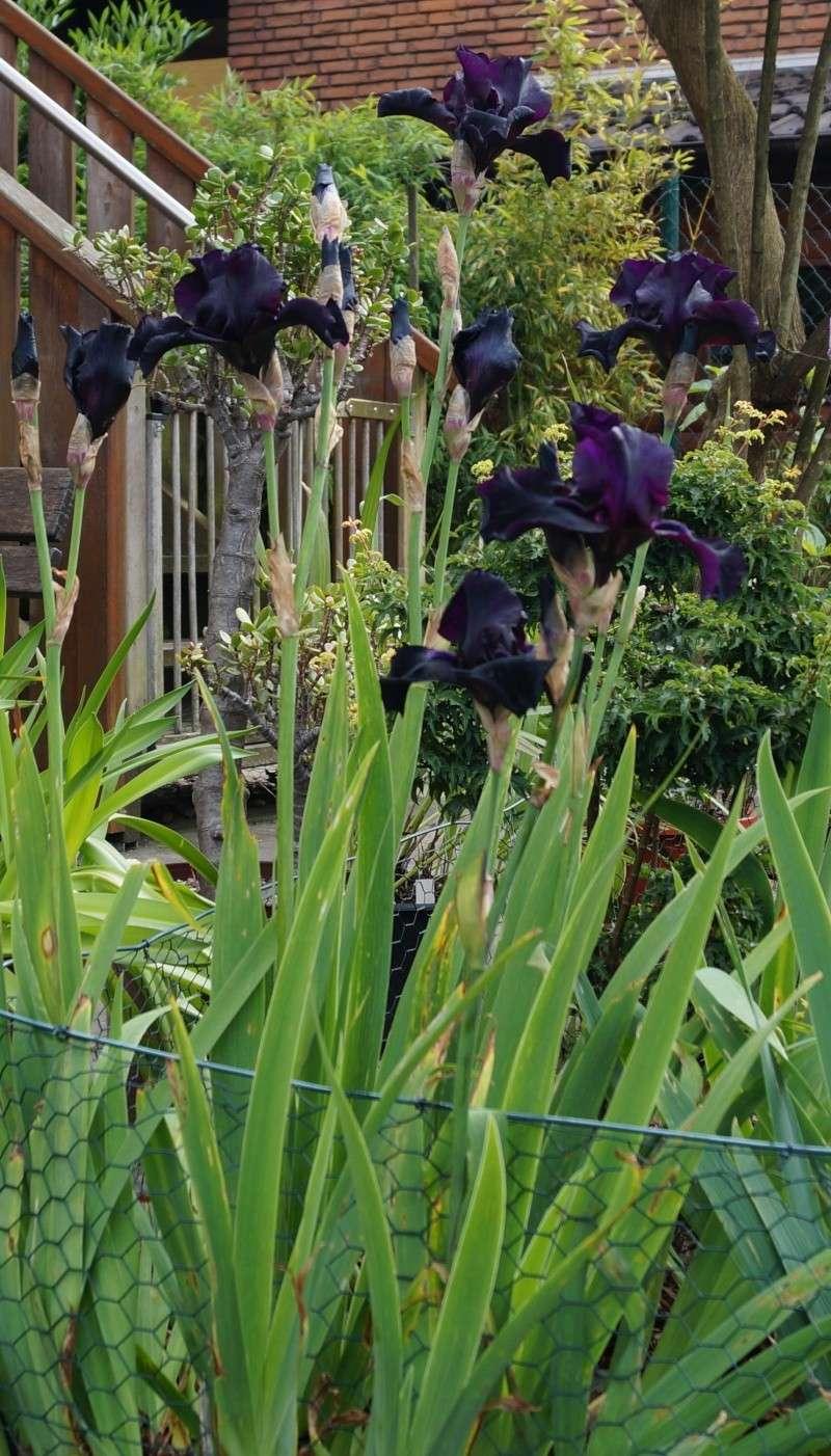 Schwertliliengewächse: Iris, Tigrida, Ixia, Sparaxis, Crocus, Freesia, Montbretie u.v.m. - Seite 2 Before10