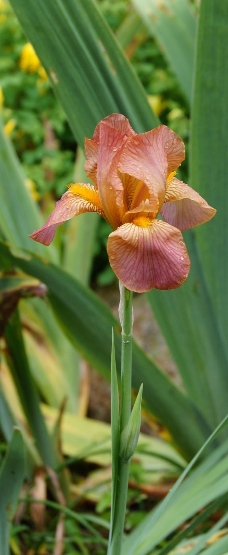 Schwertliliengewächse: Iris, Tigrida, Ixia, Sparaxis, Crocus, Freesia, Montbretie u.v.m. - Seite 2 Improm10