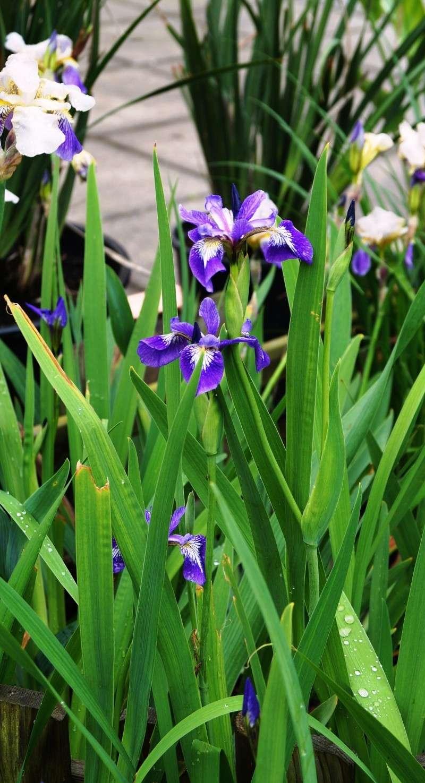 Schwertliliengewächse: Iris, Tigrida, Ixia, Sparaxis, Crocus, Freesia, Montbretie u.v.m. - Seite 2 Iris_s10