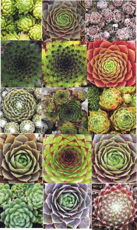 Sempervivum-Collage Semper11