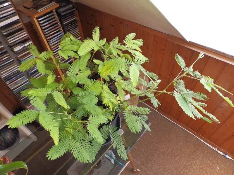 Mimosa Pudica! P6100112