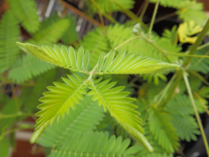 Mimosa Pudica! P6100114