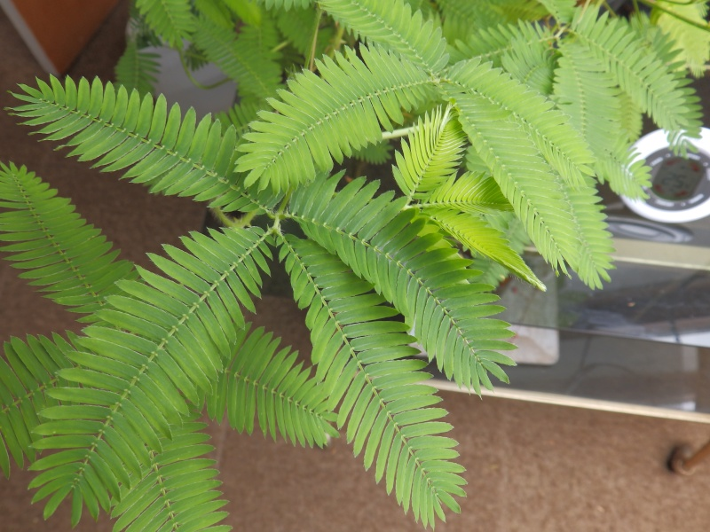Mimosa Pudica - Page 2 P7110510