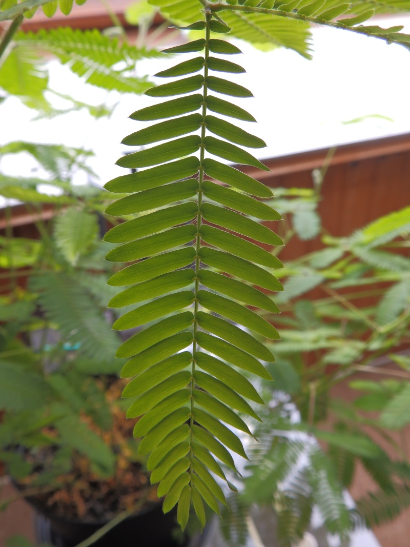 Mimosa Pudica - Page 2 P7110512